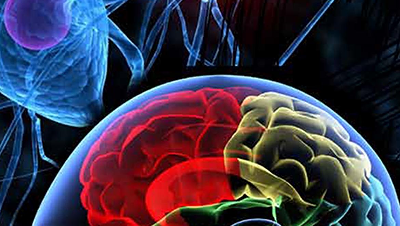 כמה מוחות יש לאדם