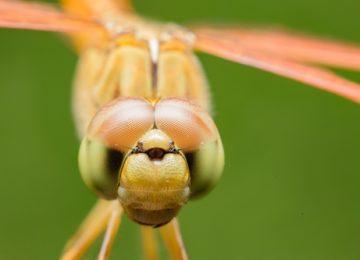 עין החרקים