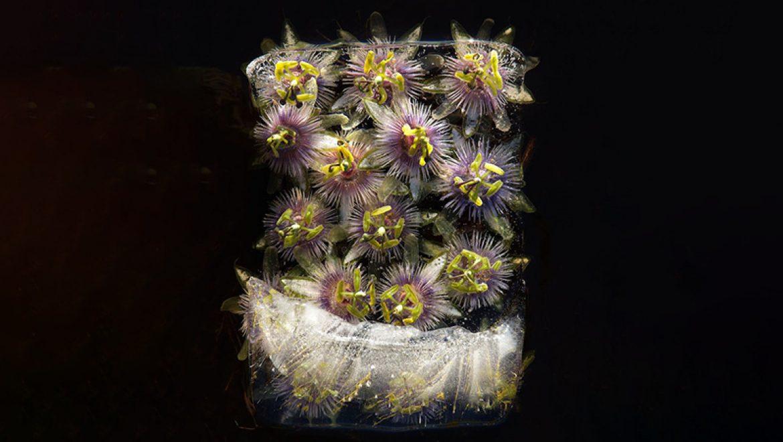 פרחים בקרח