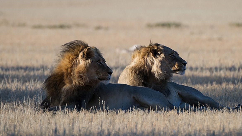 רבי תנחומא בגוב האריות